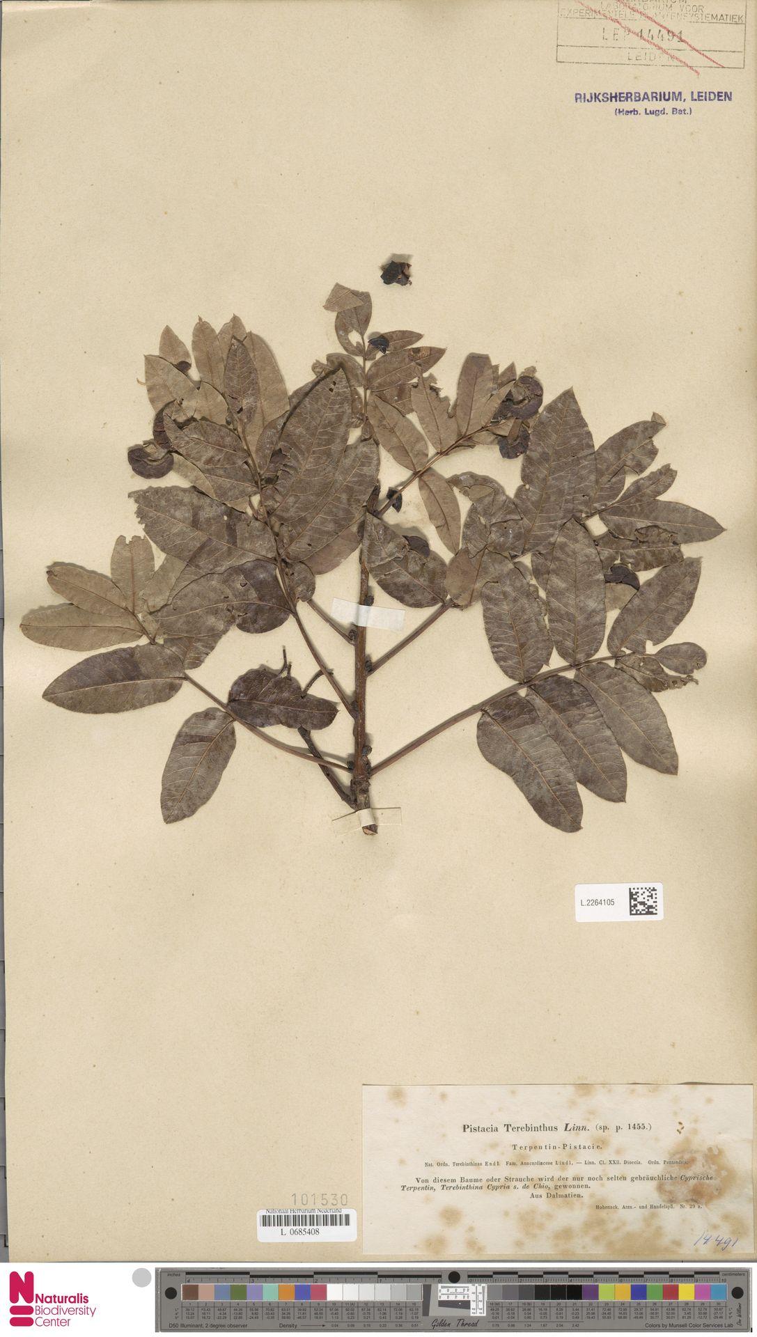 L.2264105 | Pistacia terebinthus L.