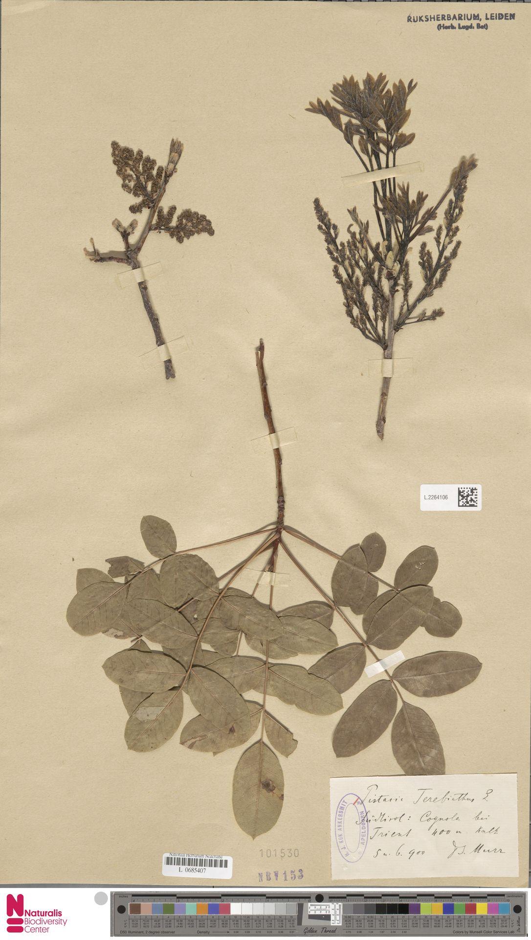 L.2264106 | Pistacia terebinthus L.