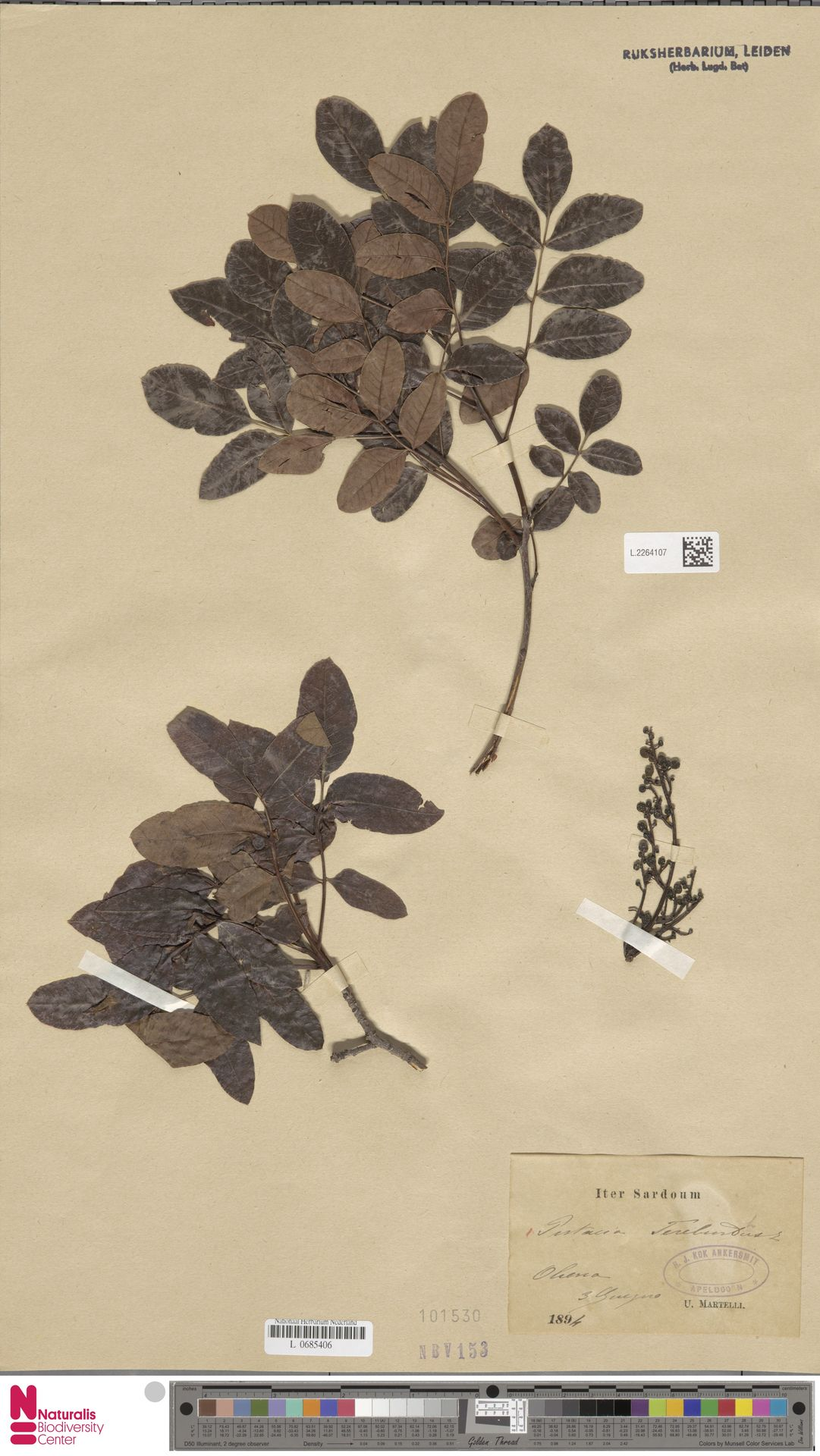 L.2264107 | Pistacia terebinthus L.