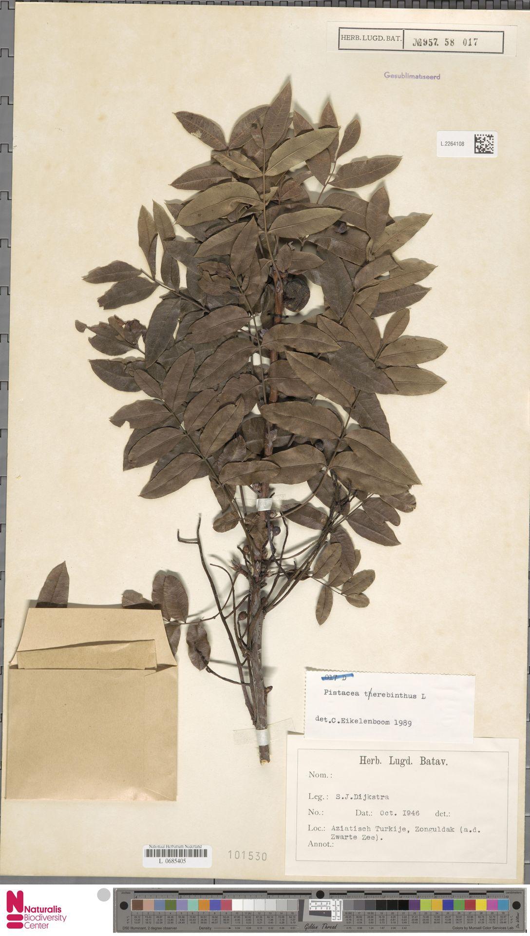 L.2264108   Pistacia terebinthus L.