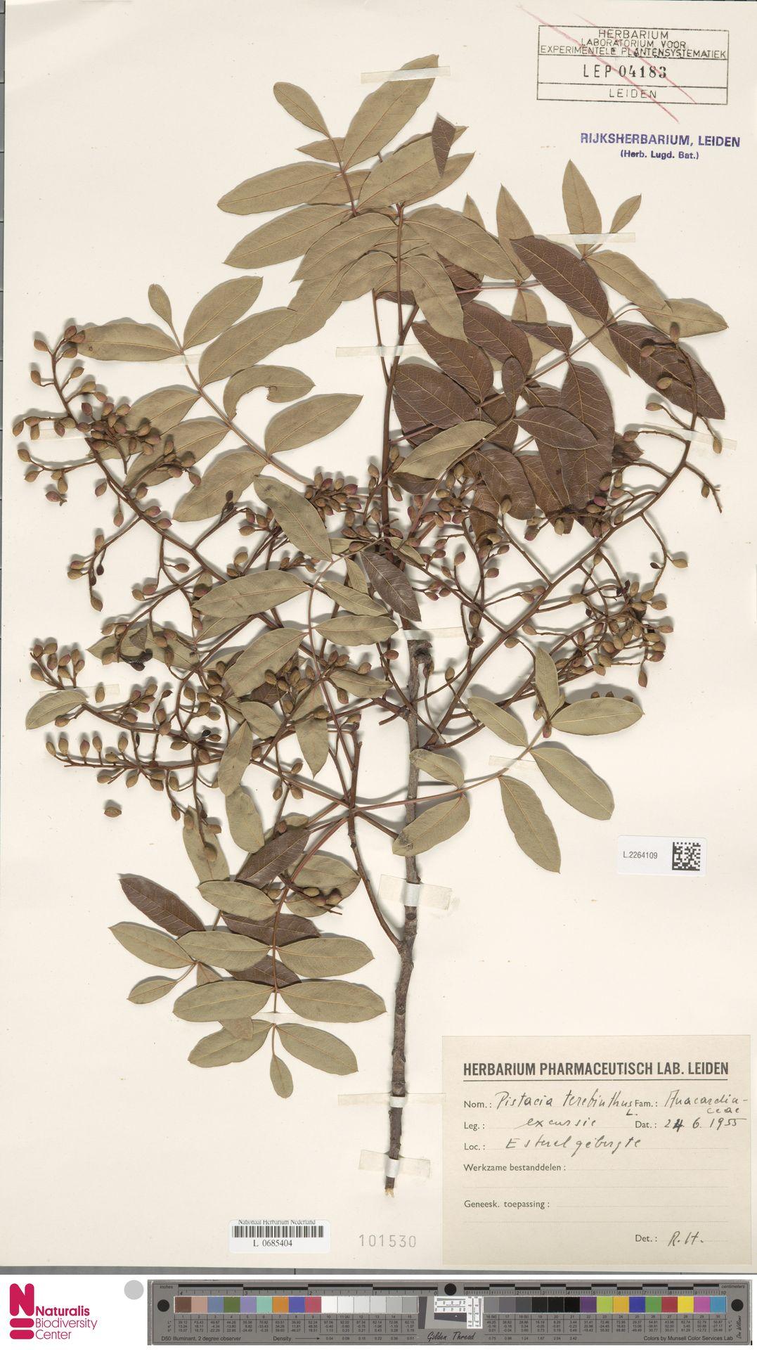 L.2264109 | Pistacia terebinthus L.