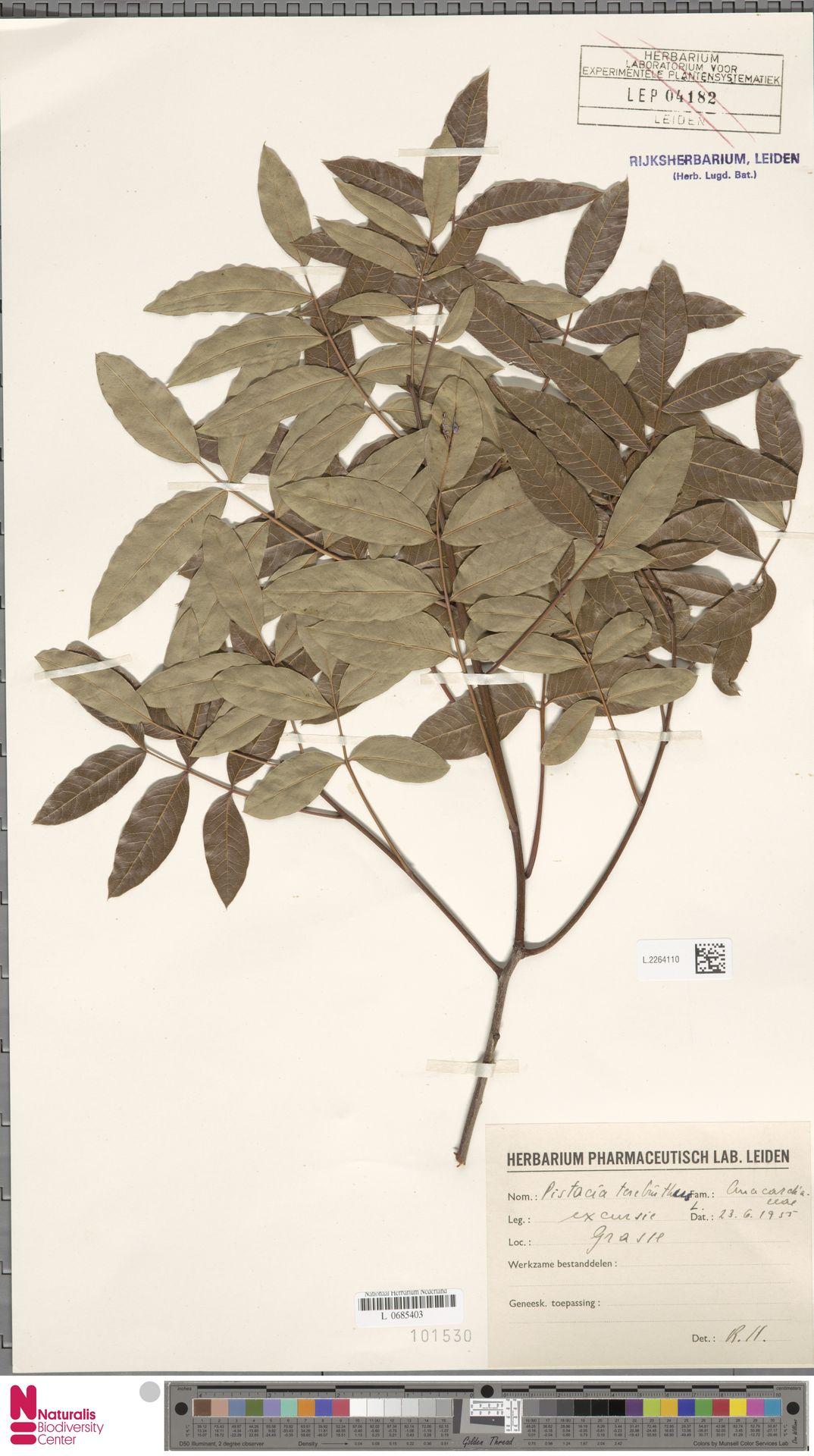 L.2264110 | Pistacia terebinthus L.