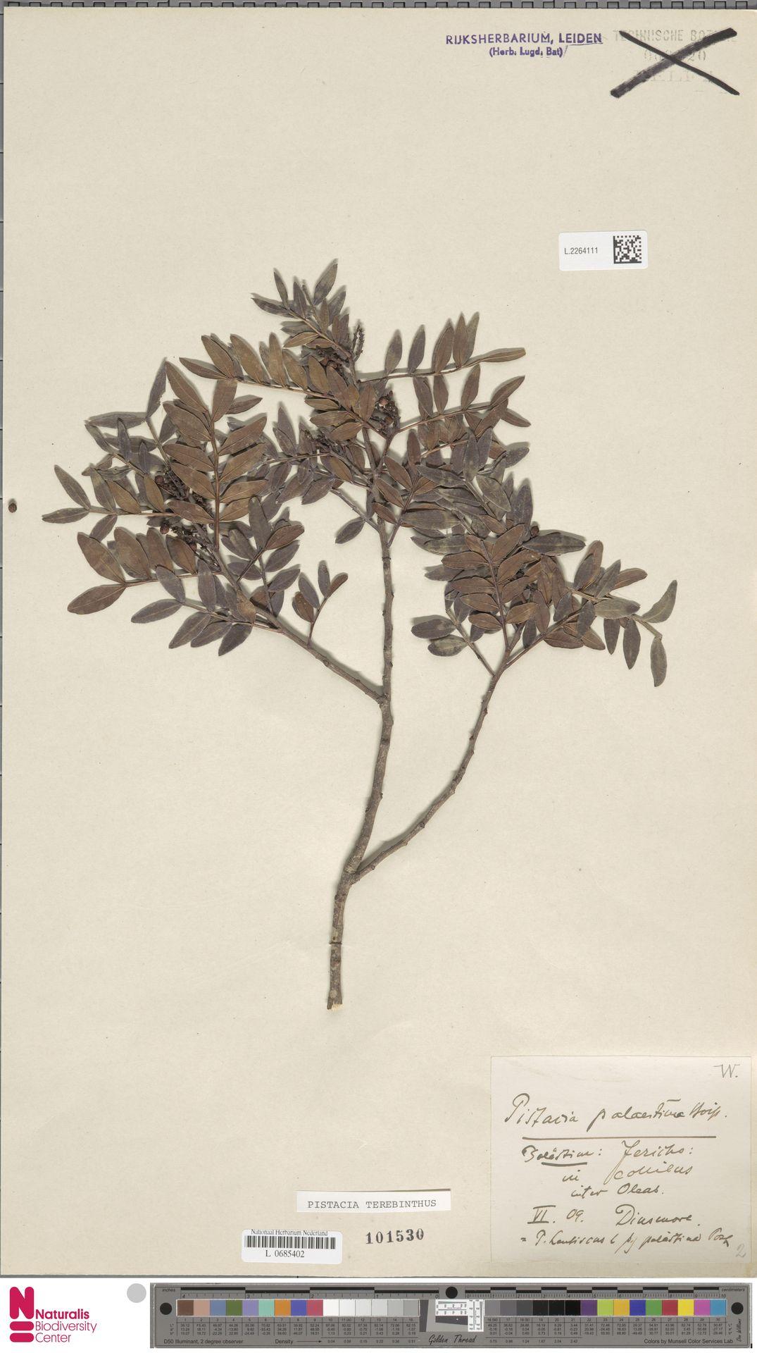 L.2264111 | Pistacia terebinthus L.