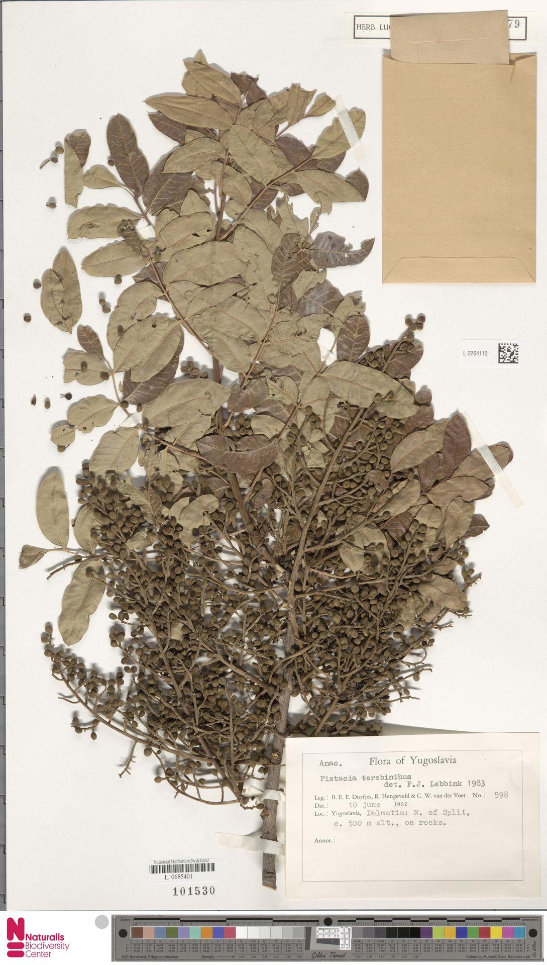 L.2264112 | Pistacia terebinthus L.