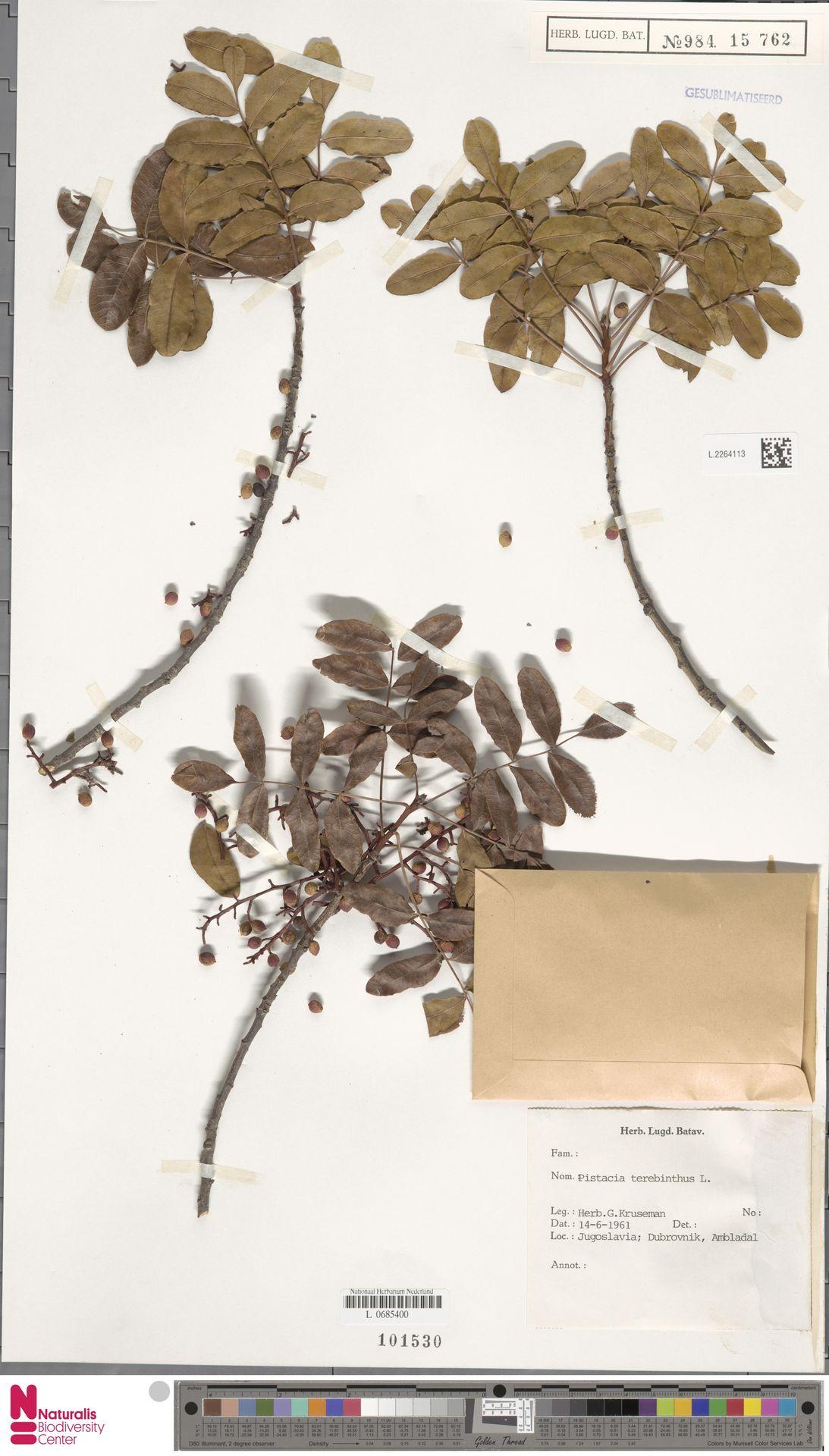 L.2264113 | Pistacia terebinthus L.