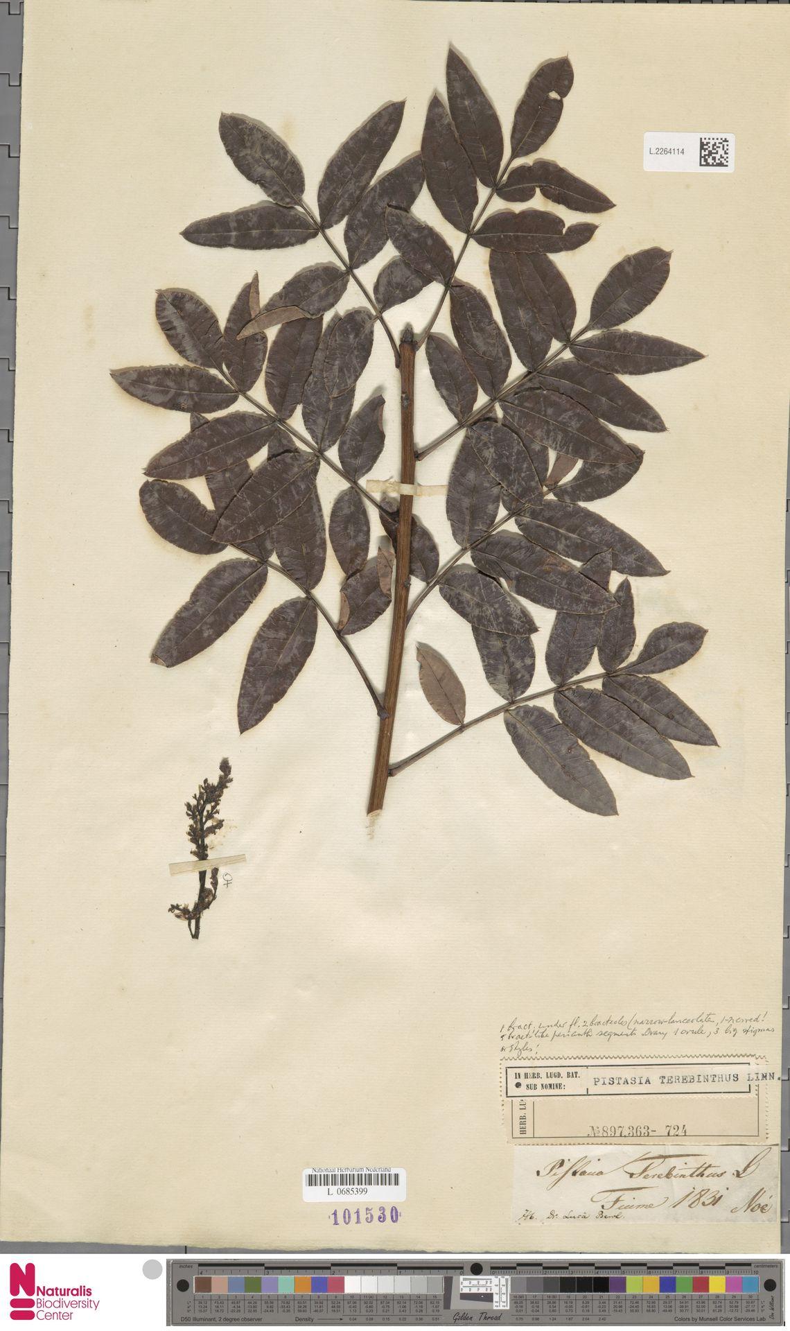 L.2264114 | Pistacia terebinthus L.