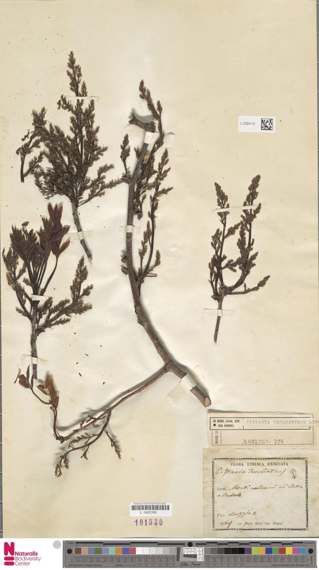 L.2264115 | Pistacia terebinthus L.