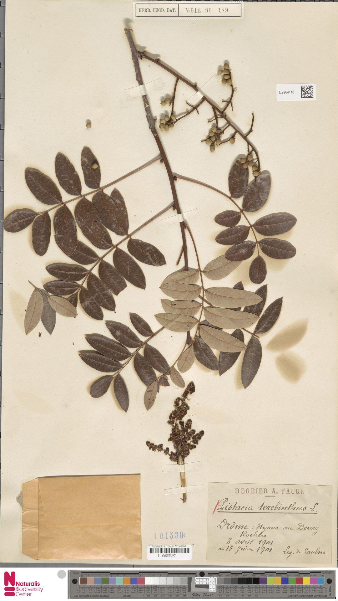 L.2264116 | Pistacia terebinthus L.