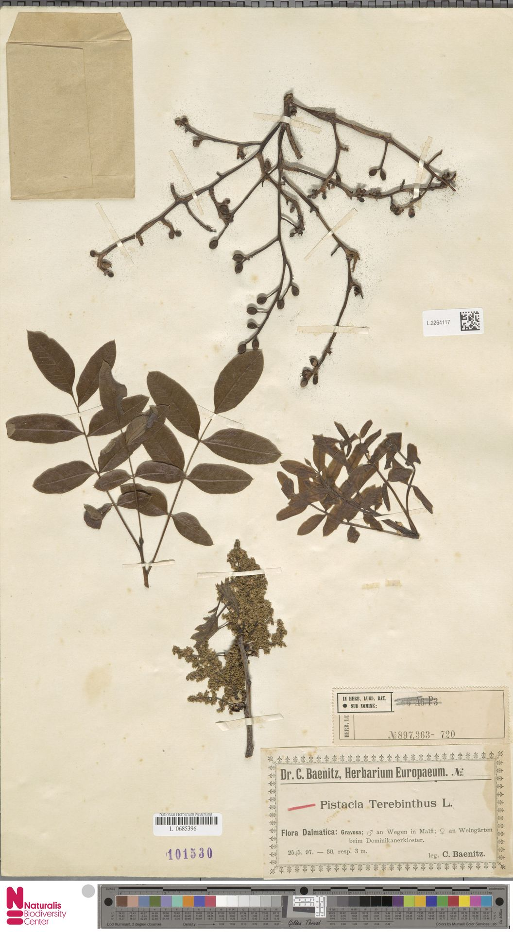 L.2264117   Pistacia terebinthus L.
