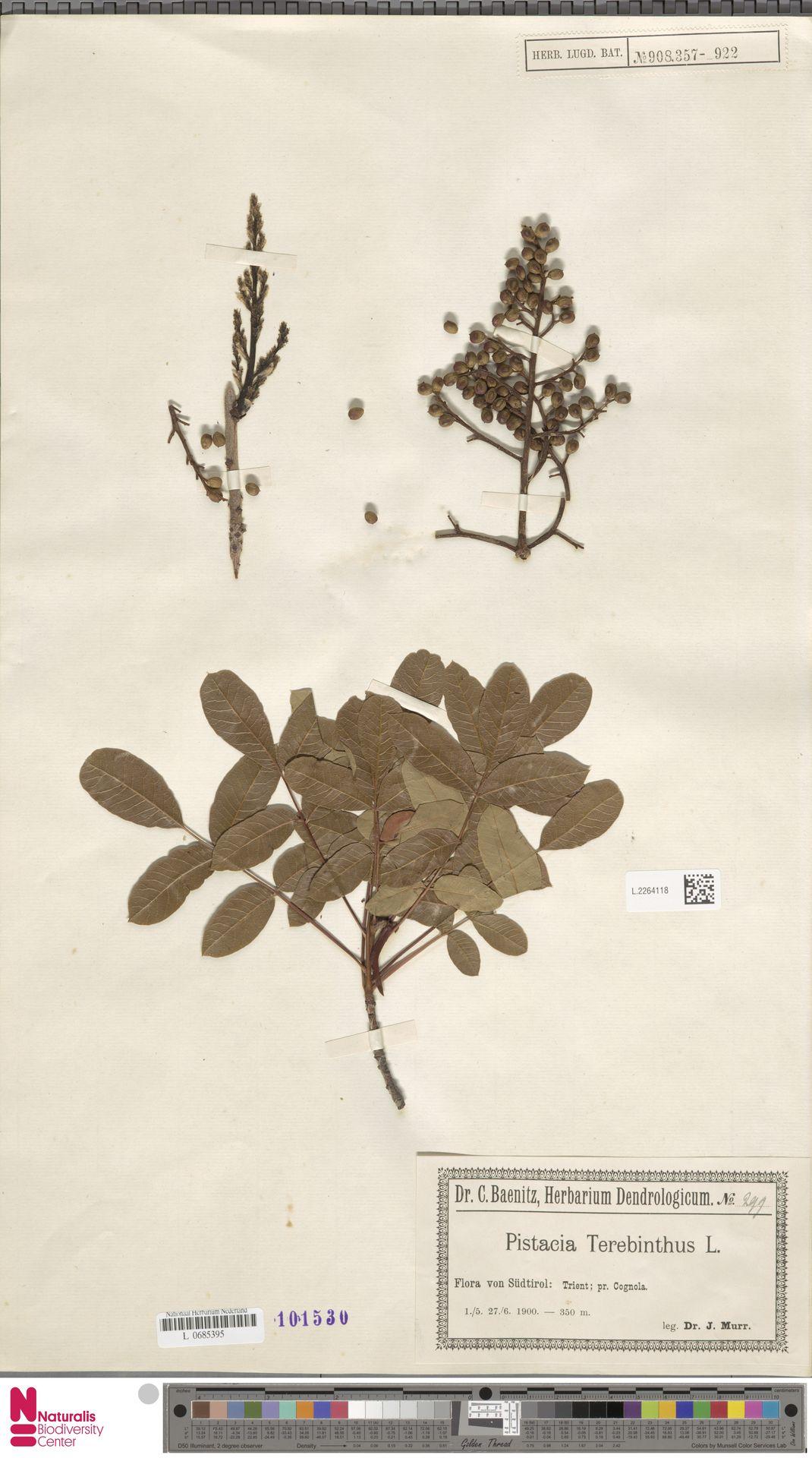 L.2264118 | Pistacia terebinthus L.