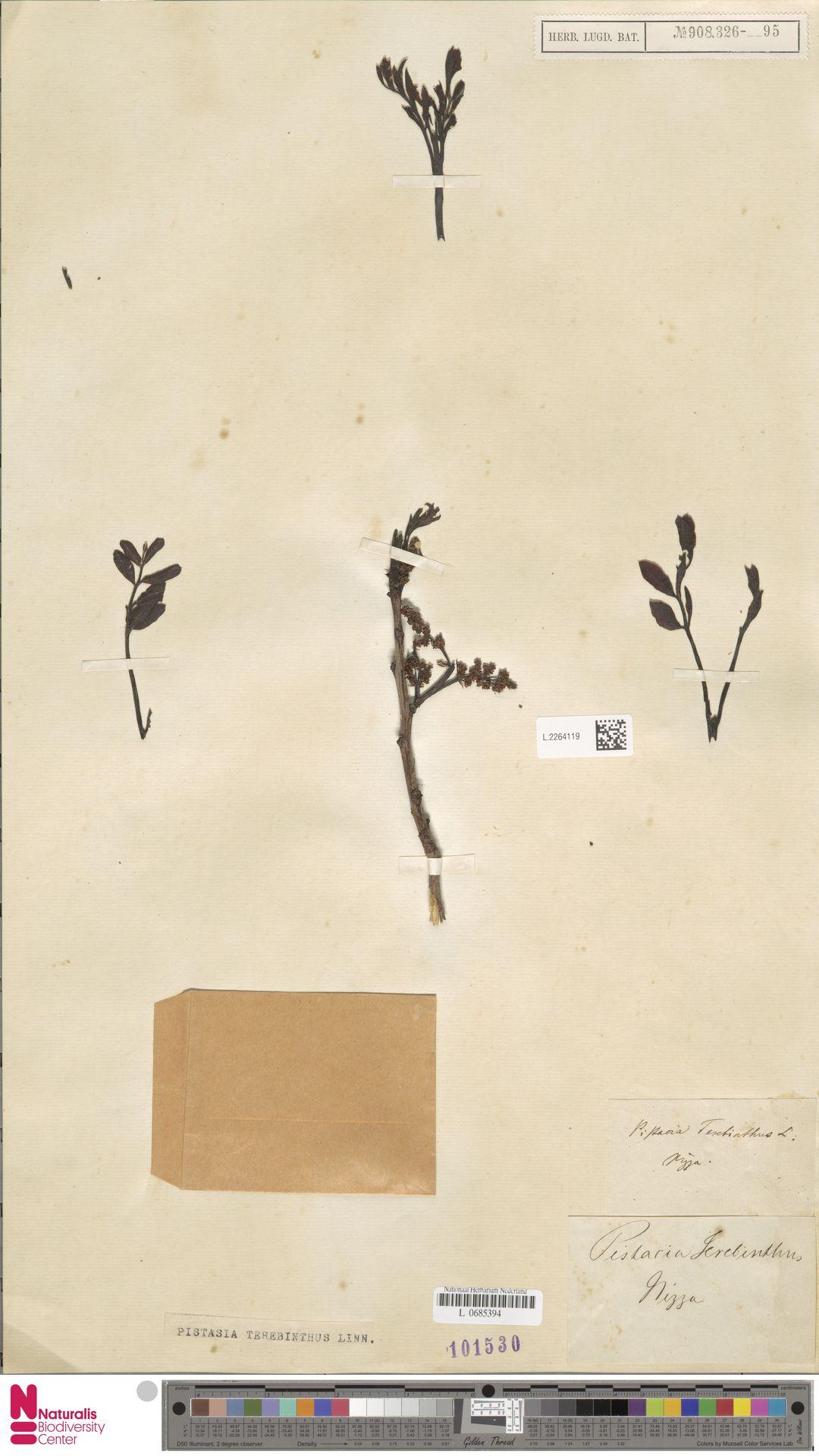 L.2264119 | Pistacia terebinthus L.