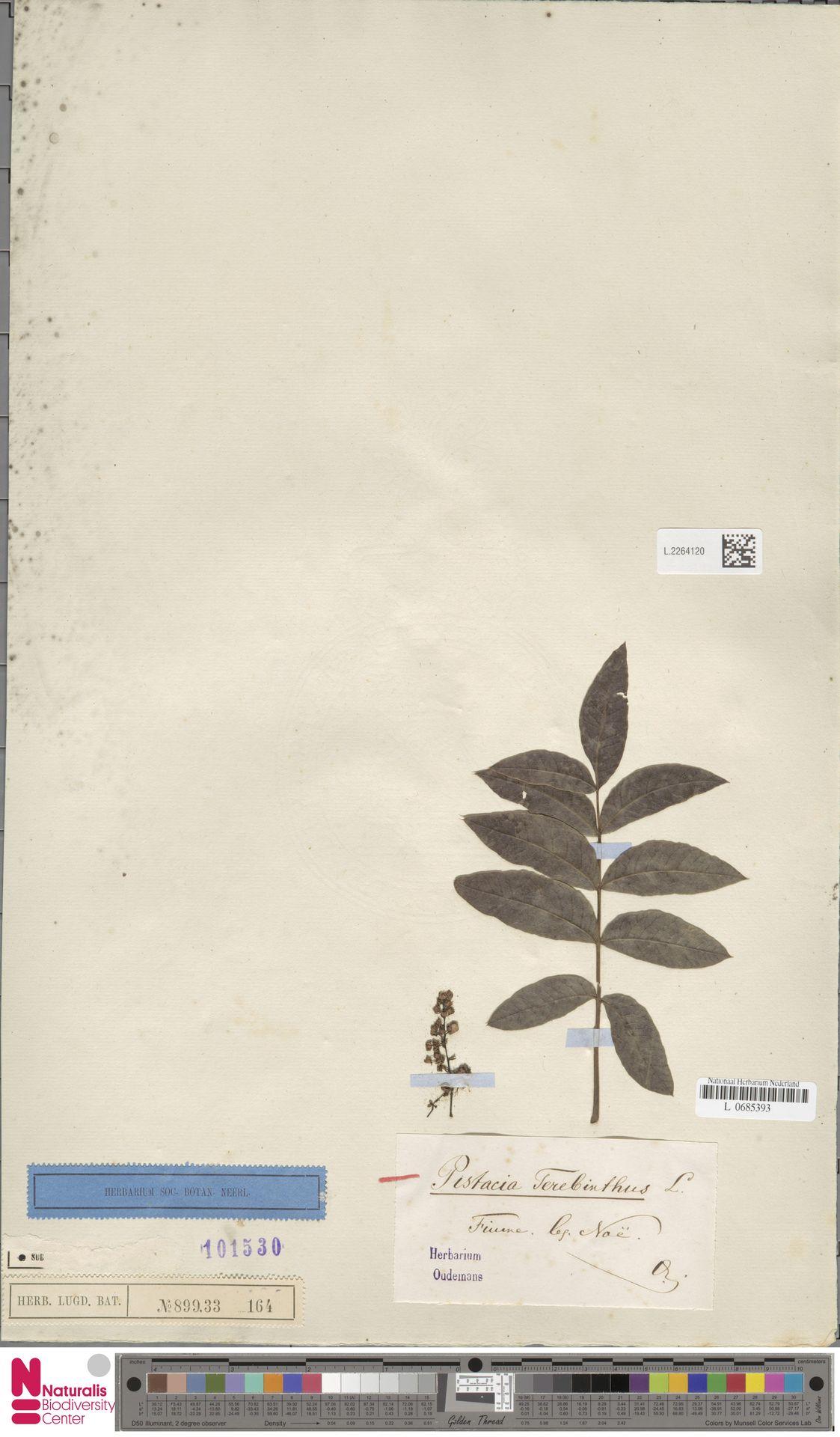 L.2264120 | Pistacia terebinthus L.