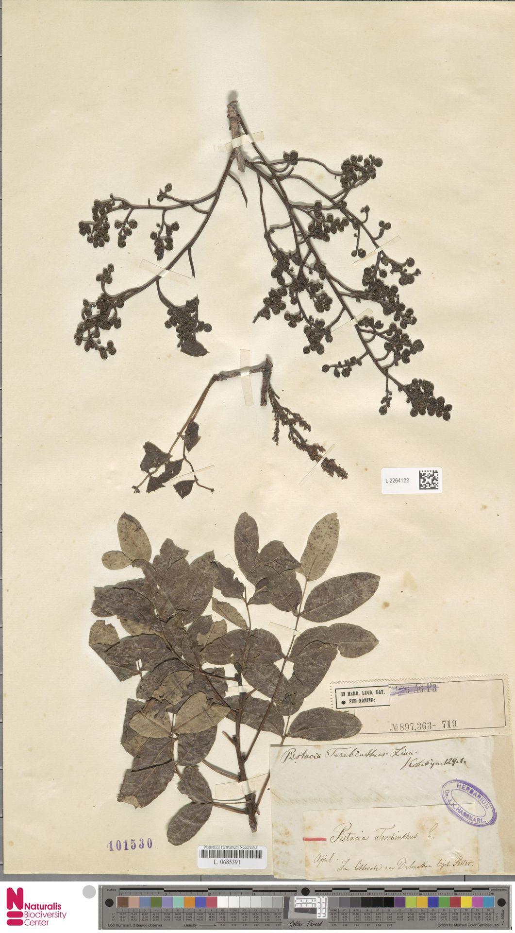 L.2264122 | Pistacia terebinthus L.