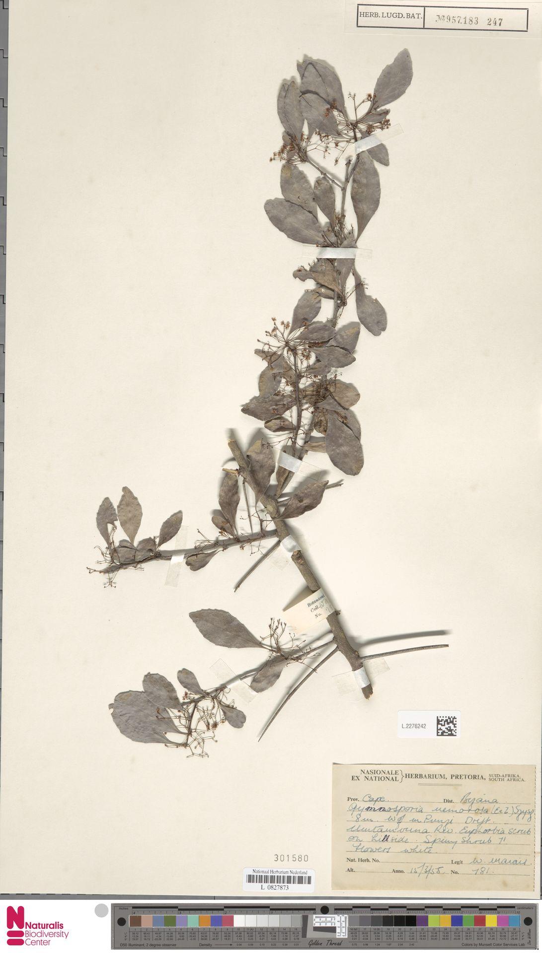 L.2276242 | Gymnosporia nemorosa (Eckl. & Zeyh.) Szyszyl.