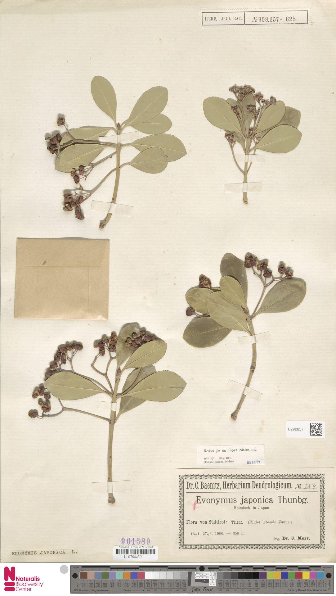 L.2283287 | Euonymus japonicus Thunb.