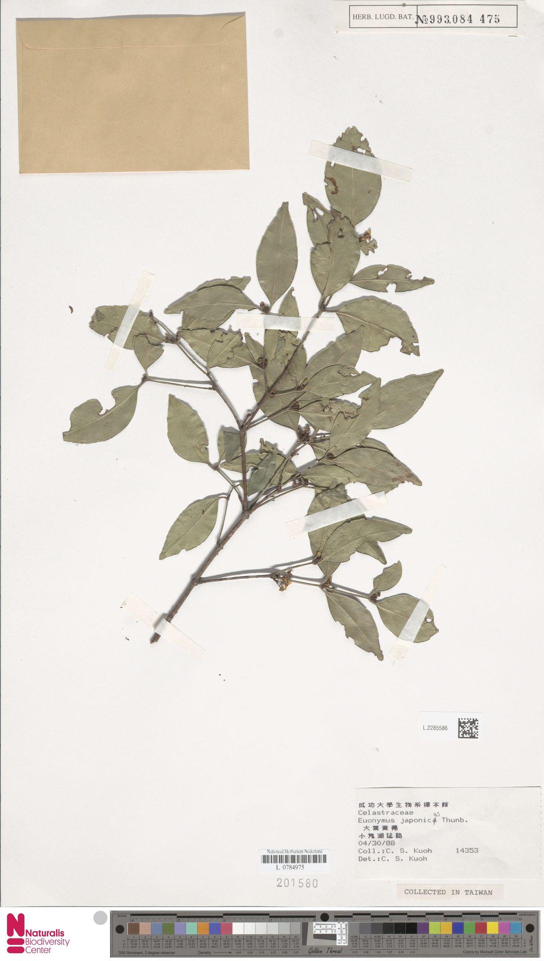 L.2285586 | Euonymus japonicus Thunb.