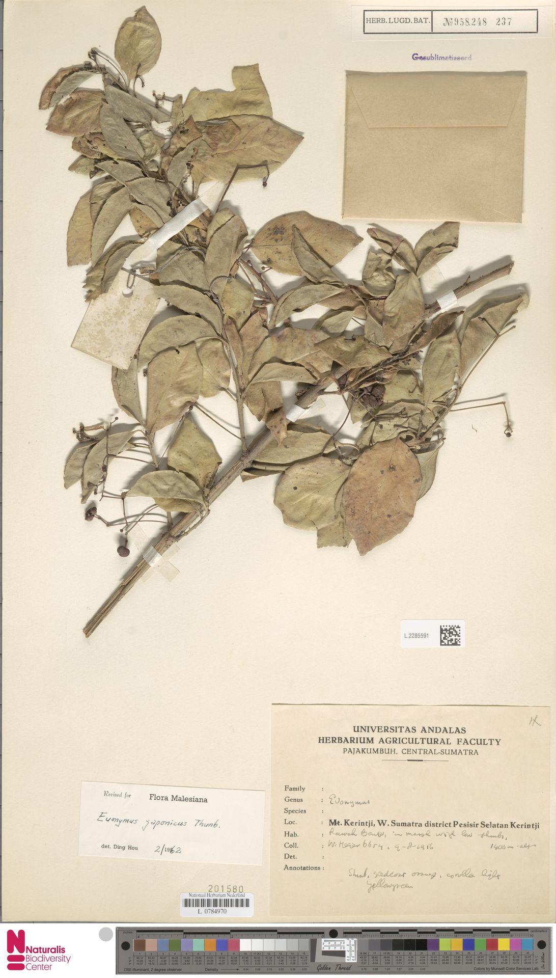 L.2285591 | Euonymus japonicus Thunb.
