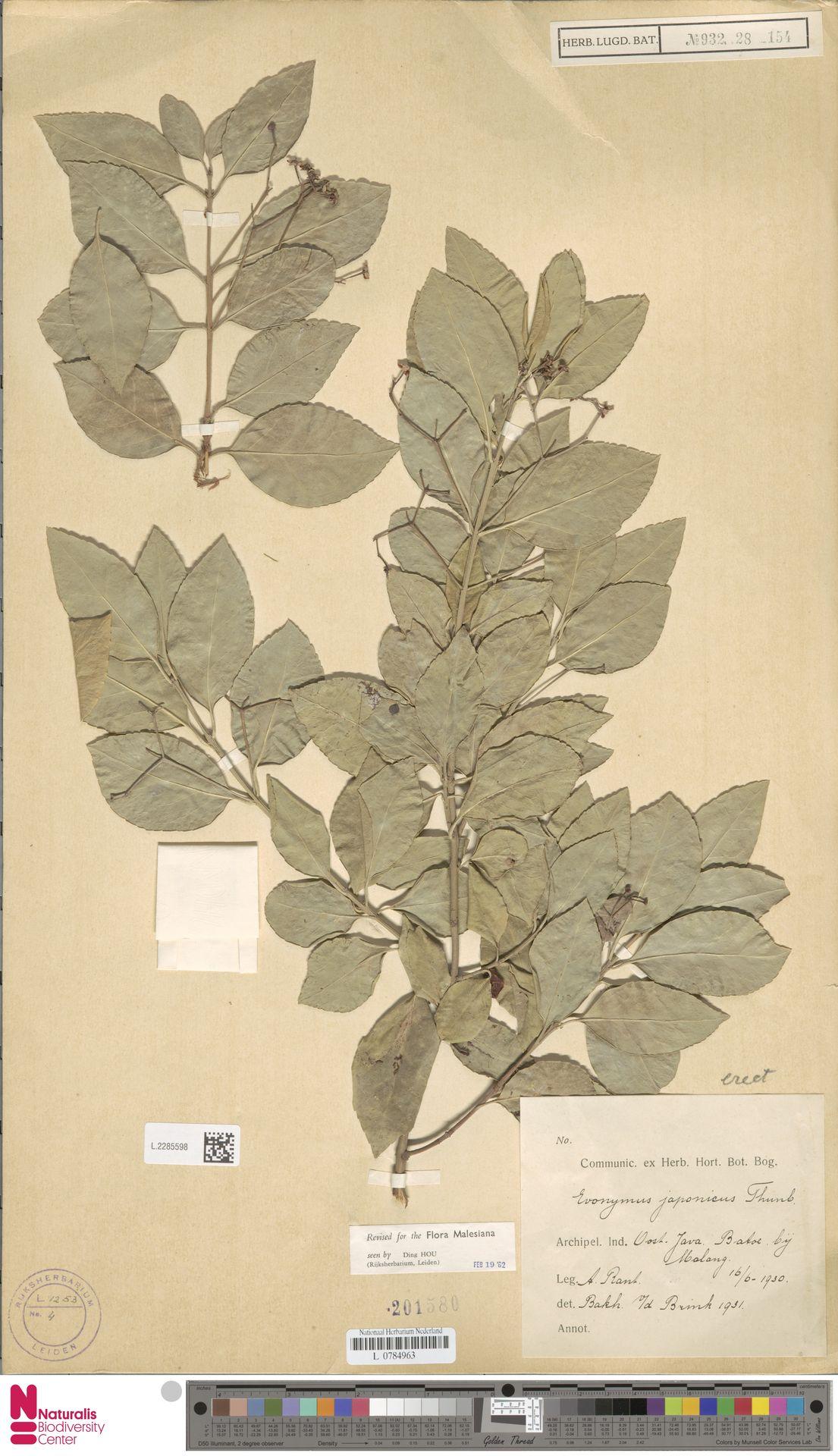 L.2285598   Euonymus japonicus Thunb.