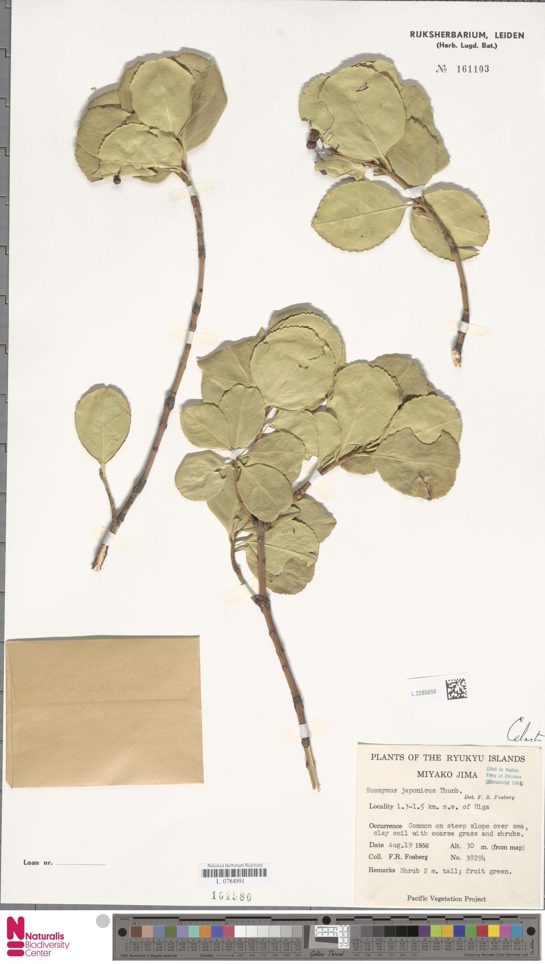 L.2285659 | Euonymus japonicus Thunb.