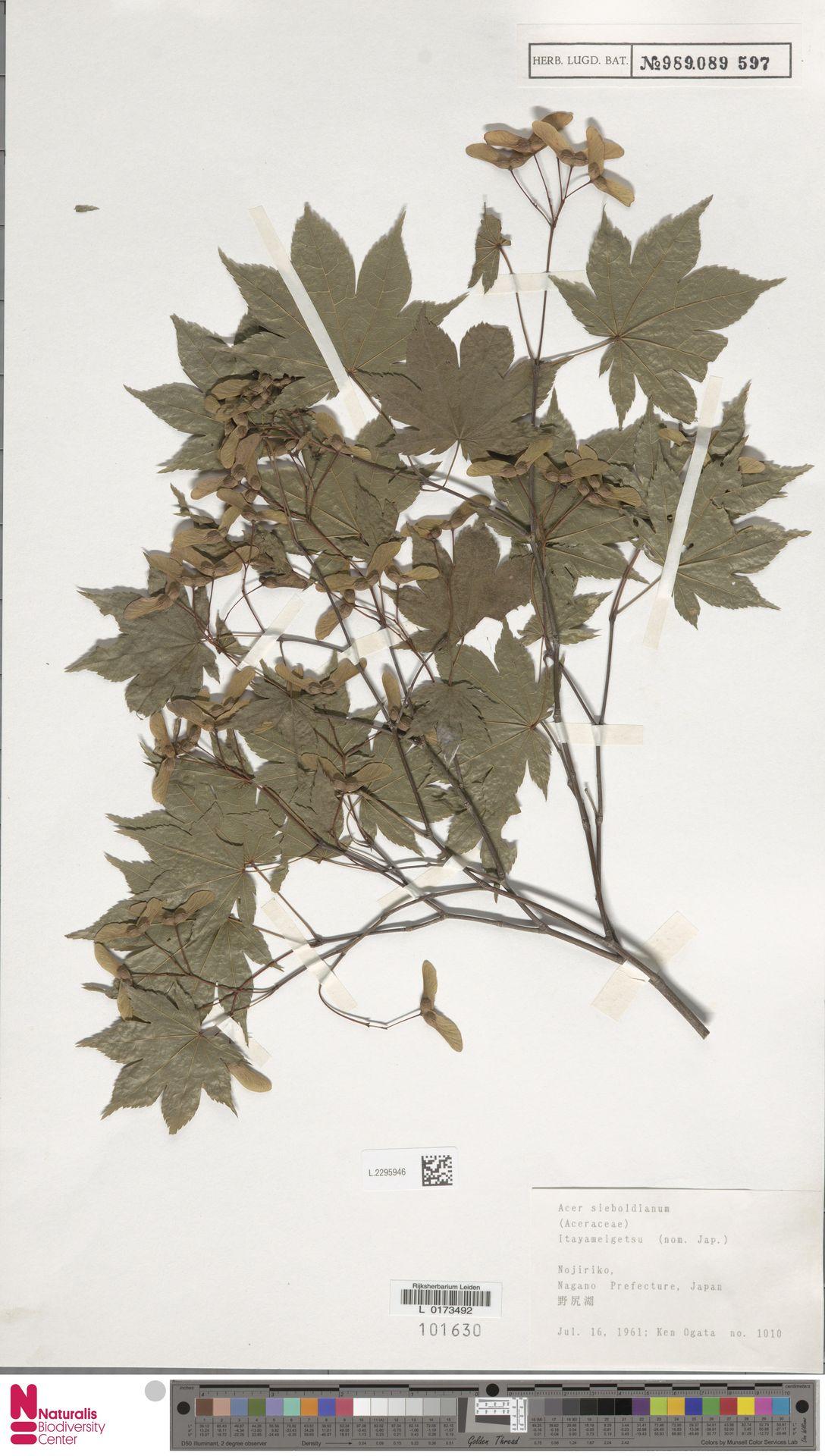 L.2295946   Acer sieboldianum Miq.