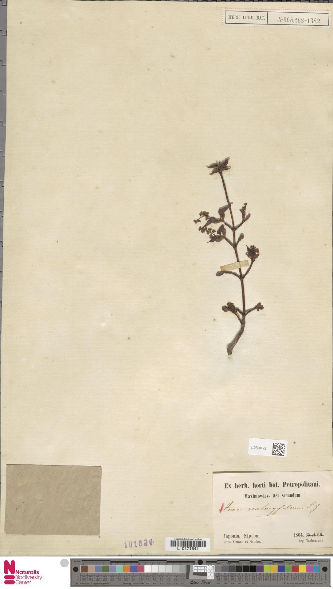 L.2300475 | Acer crataegifolium Siebold & Zucc.