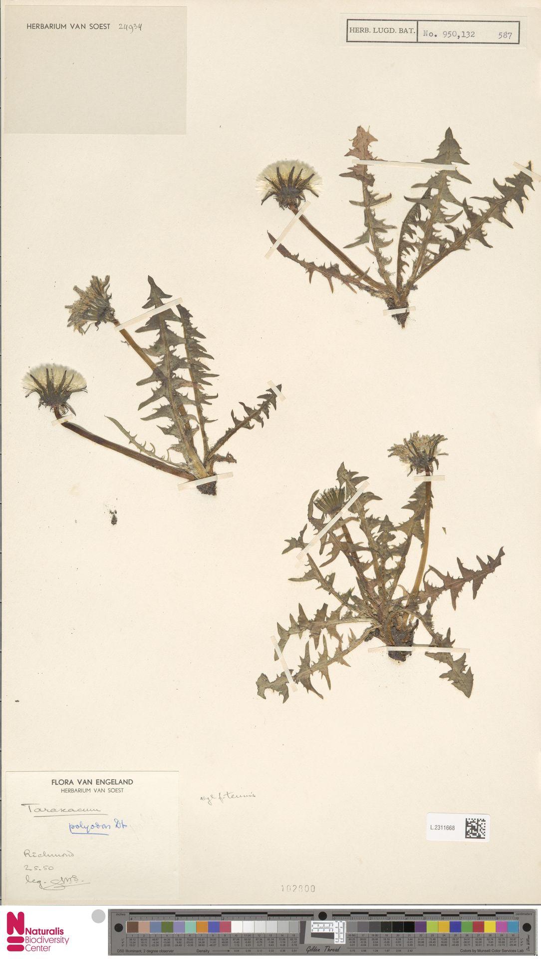L.2311668 | Taraxacum polyodon Dahlst.