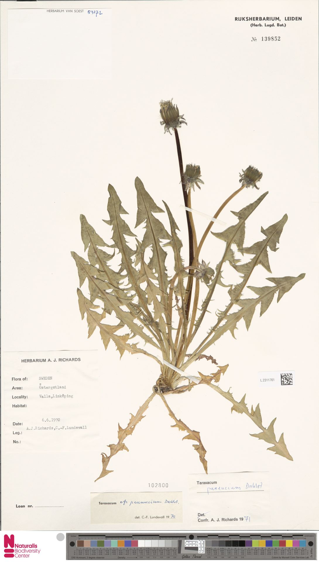 L.2311761   Taraxacum pannucium Dahlst.
