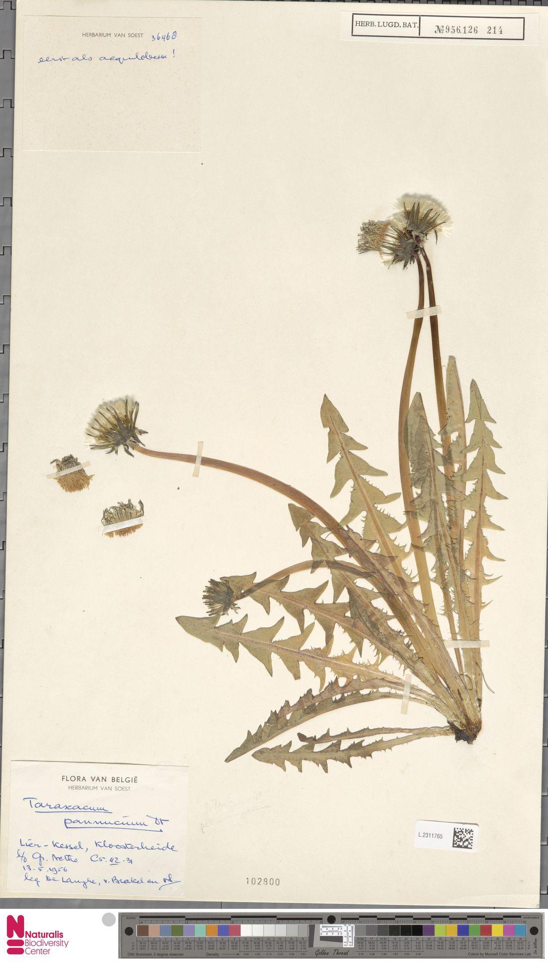 L.2311765   Taraxacum pannucium Dahlst.