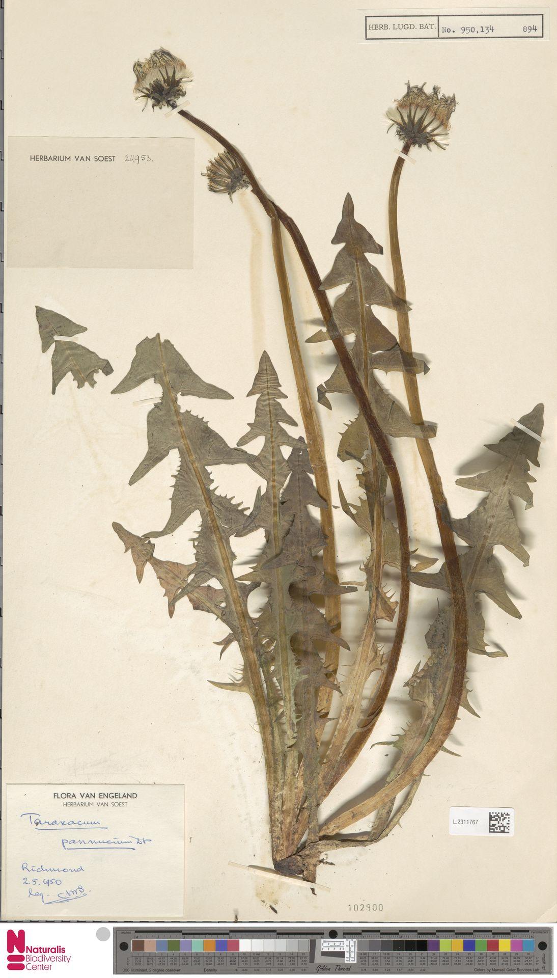 L.2311767 | Taraxacum pannucium Dahlst.