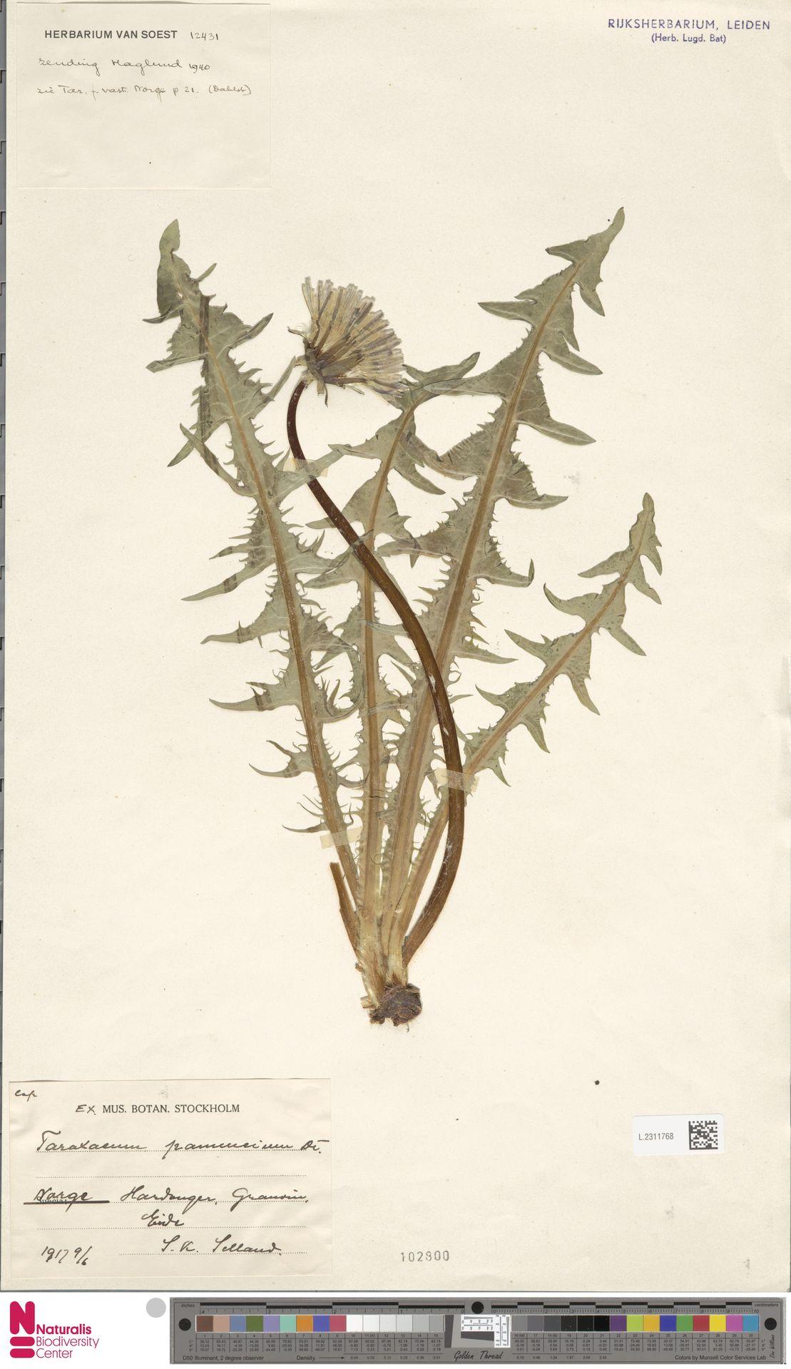 L.2311768   Taraxacum pannucium Dahlst.