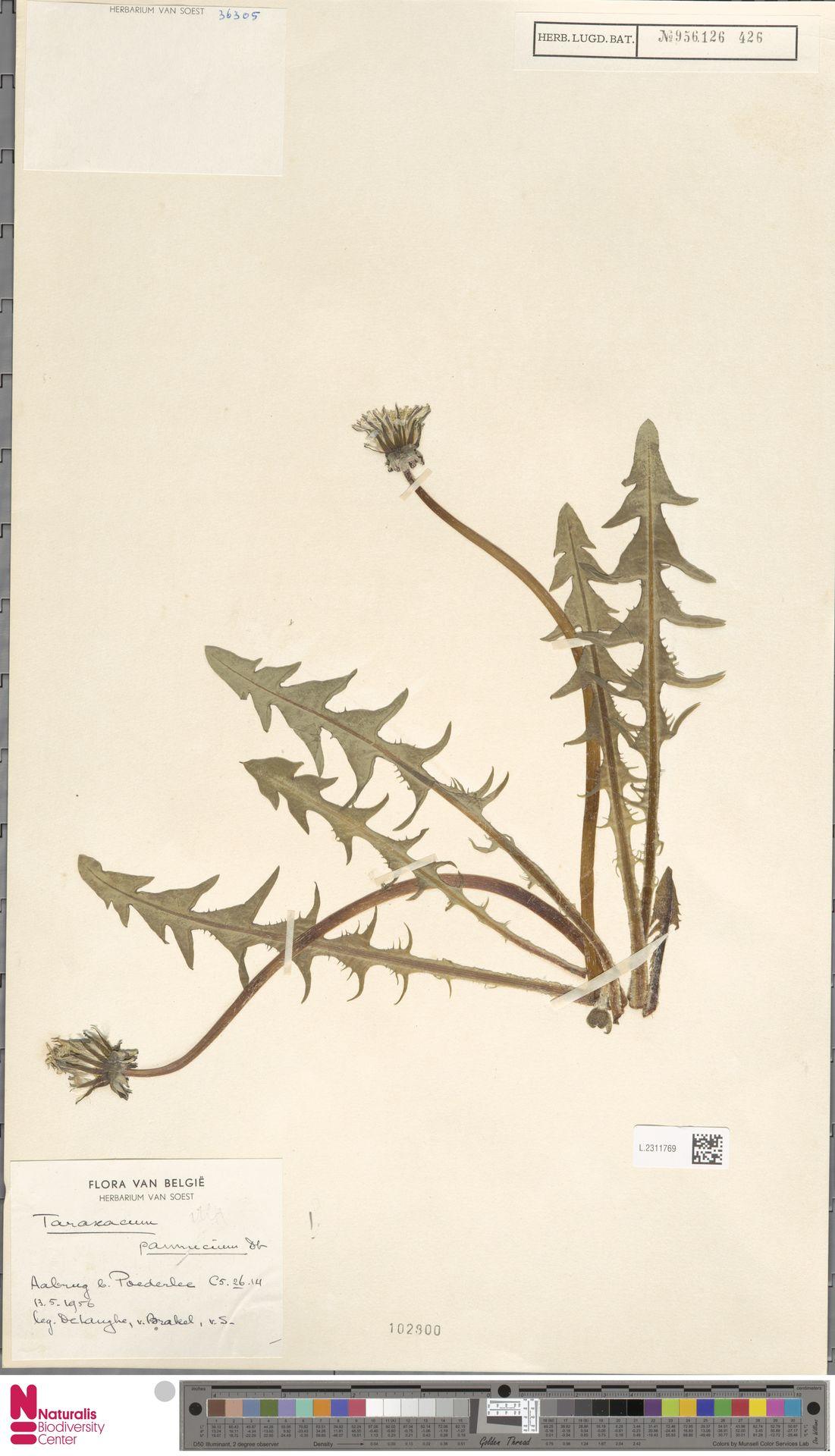 L.2311769 | Taraxacum pannucium Dahlst.