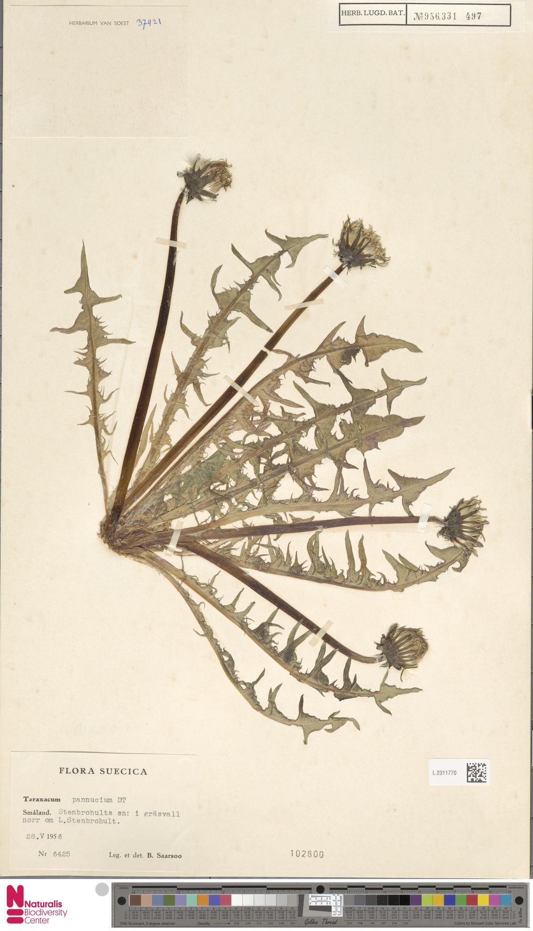 L.2311770   Taraxacum pannucium Dahlst.