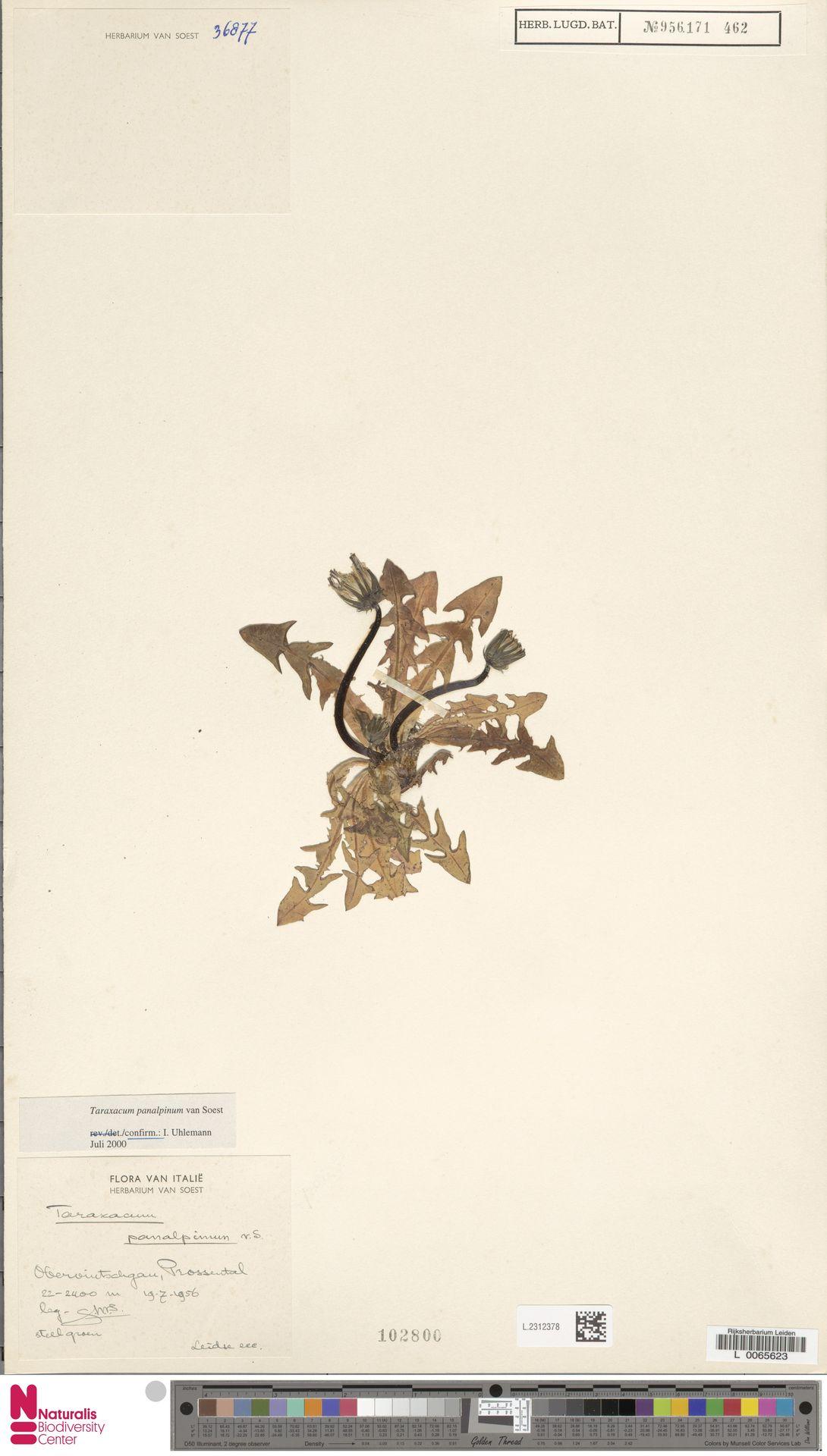 L.2312378   Taraxacum panalpinum Soest