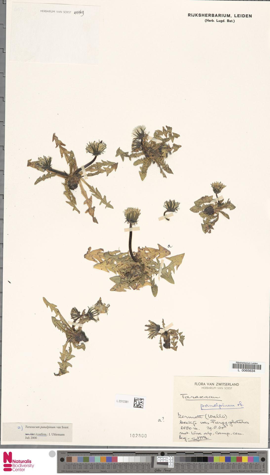 L.2312381 | Taraxacum panalpinum Soest