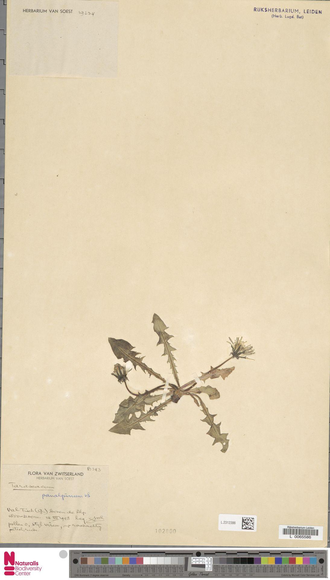 L.2312386 | Taraxacum panalpinum Soest
