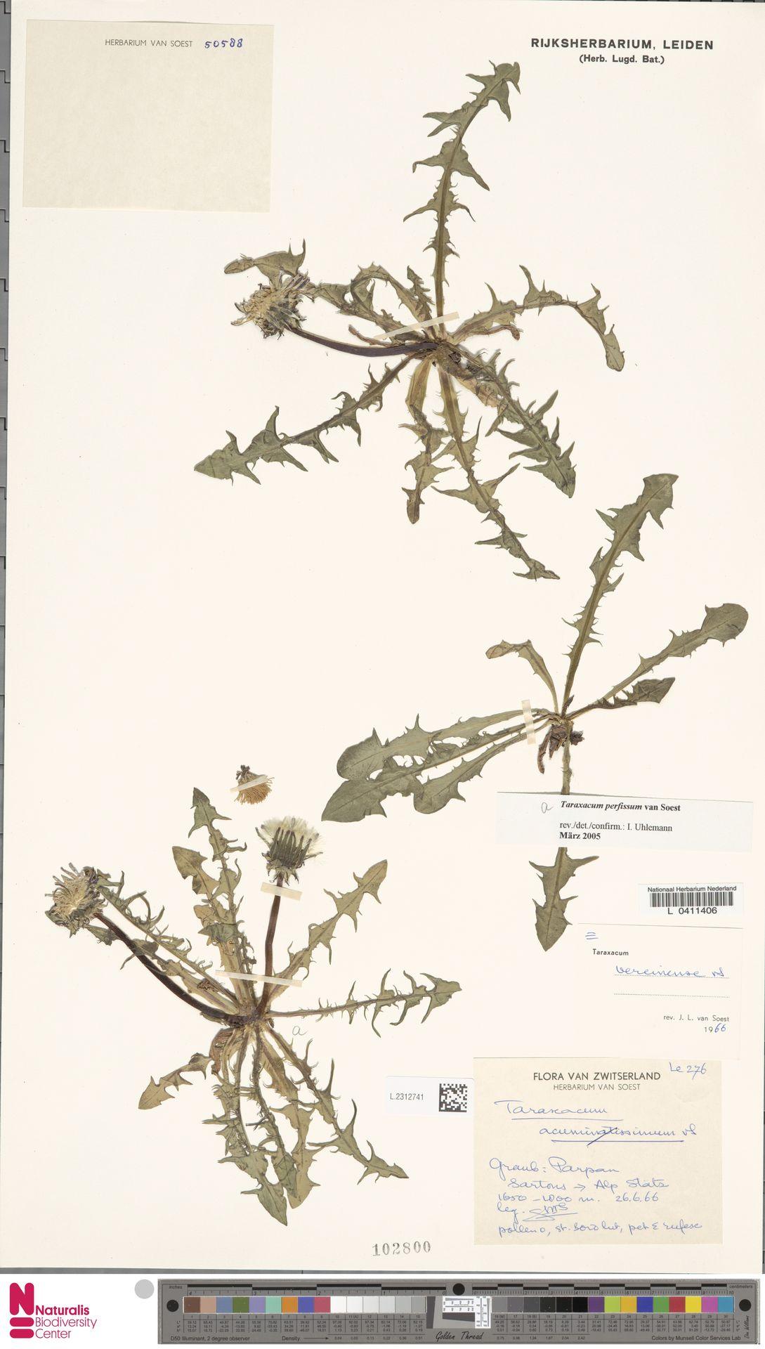 L.2312741 | Taraxacum perfissum Soest