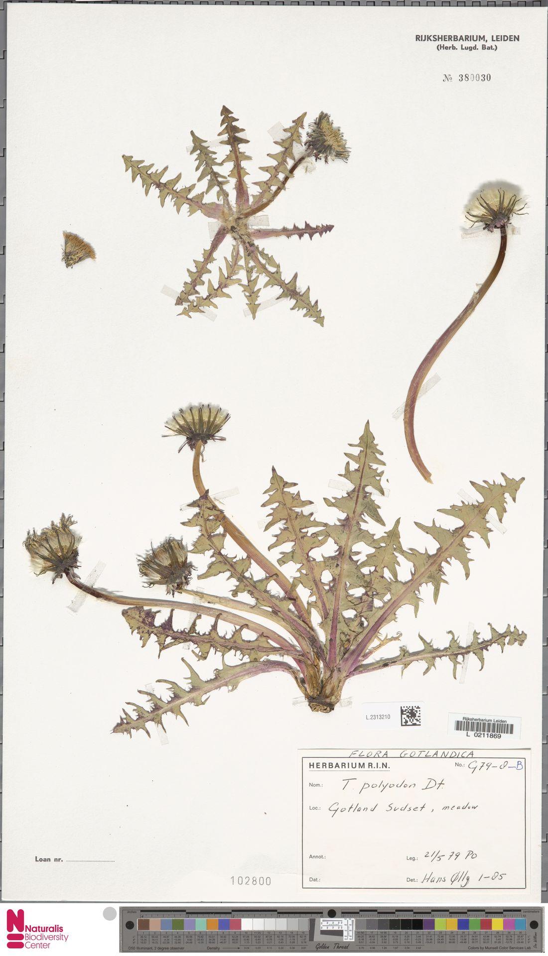 L.2313210 | Taraxacum polyodon Dahlst.
