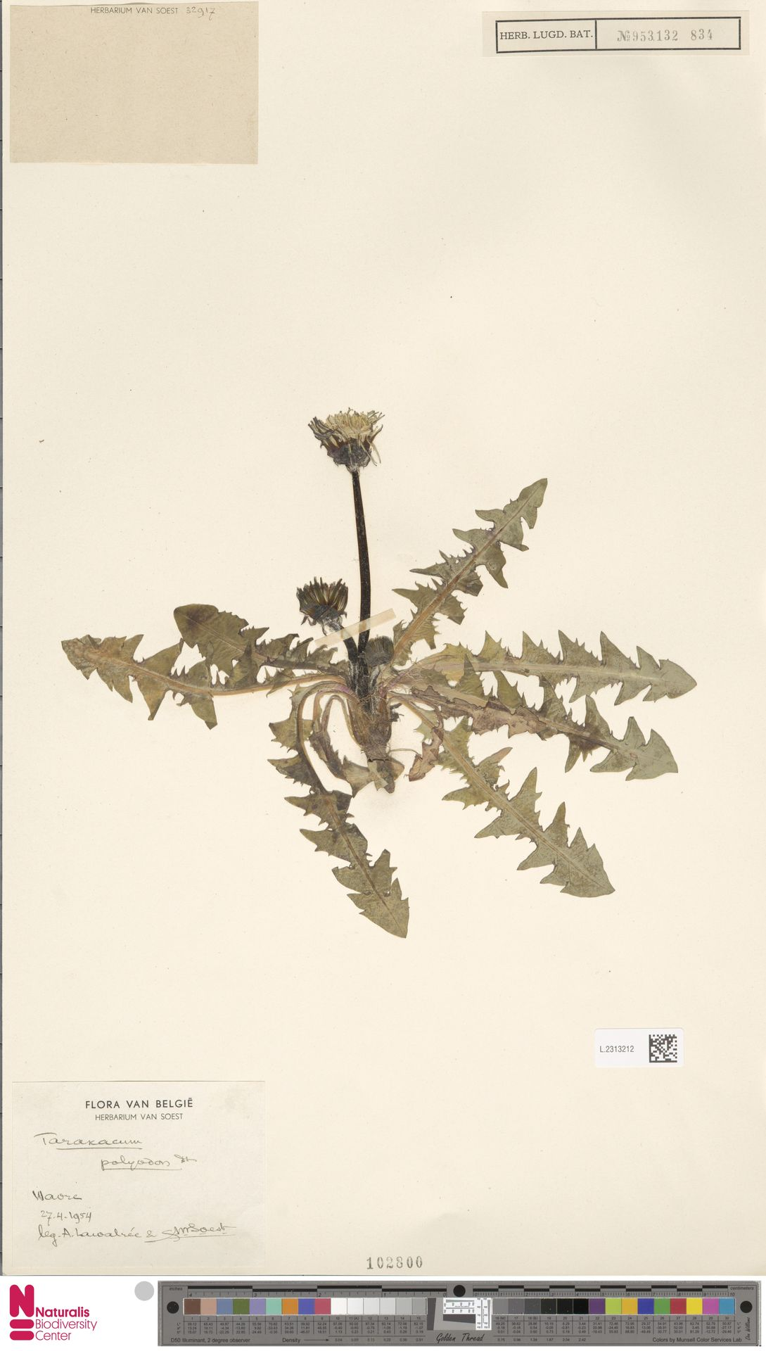 L.2313212   Taraxacum polyodon Dahlst.
