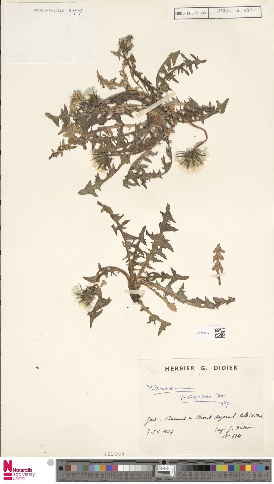 L.2313217 | Taraxacum polyodon Dahlst.