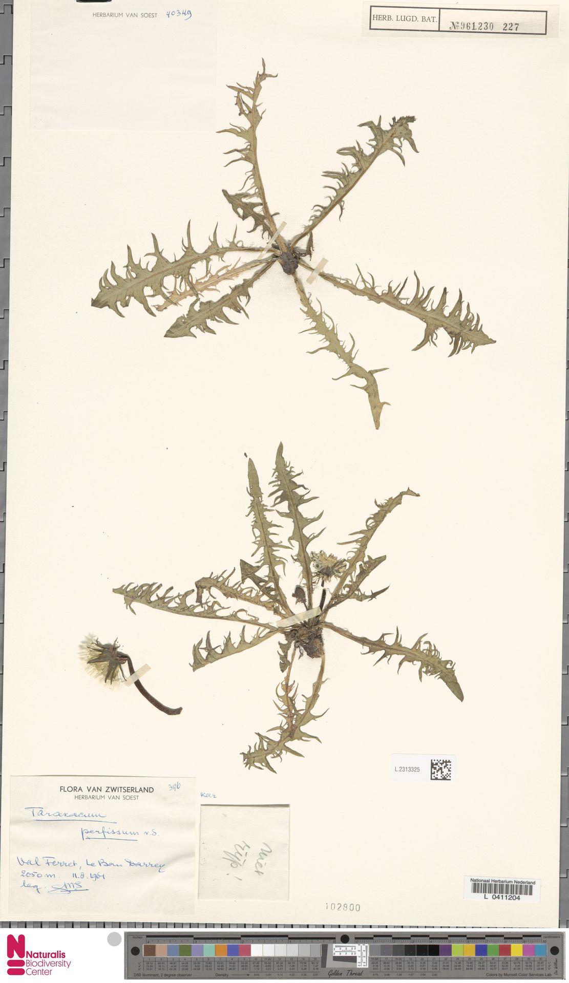 L.2313325 | Taraxacum perfissum Soest