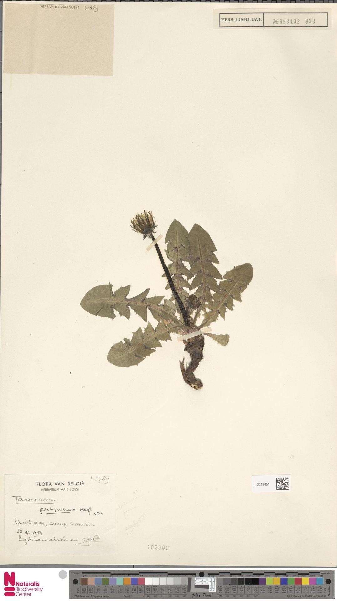 L.2313451 | Taraxacum pachymerum G.E.Haglund