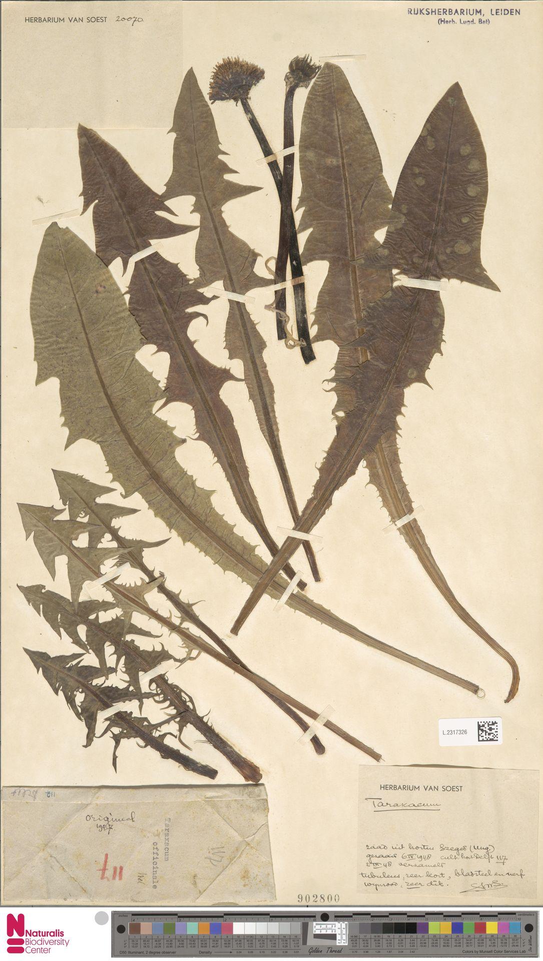 L.2317326   Taraxacum polyodon Dahlst.