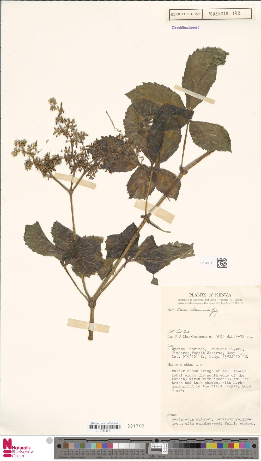 L.2333614 | Cissus ukerewensis Gilg