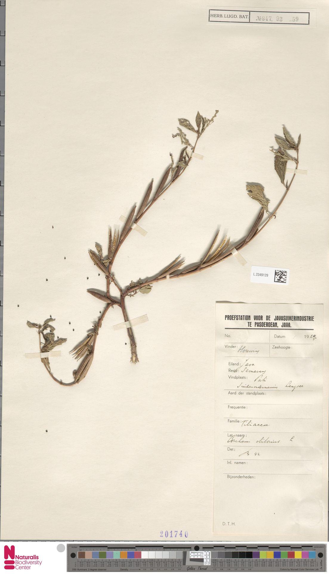 L.2349129   Corchorus olitorius L.