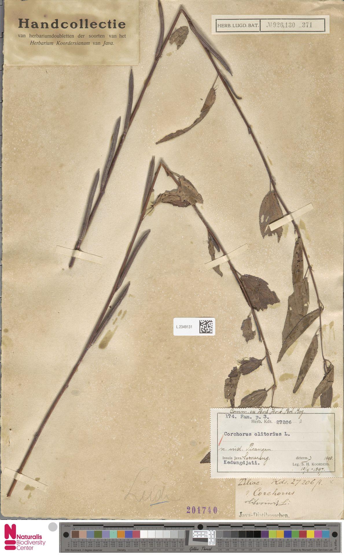 L.2349131 | Corchorus olitorius L.