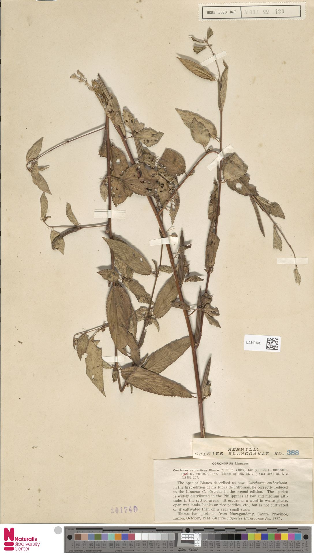 L.2349141 | Corchorus olitorius L.