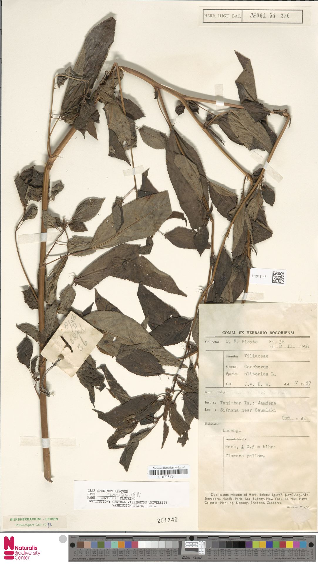 L.2349147 | Corchorus olitorius L.