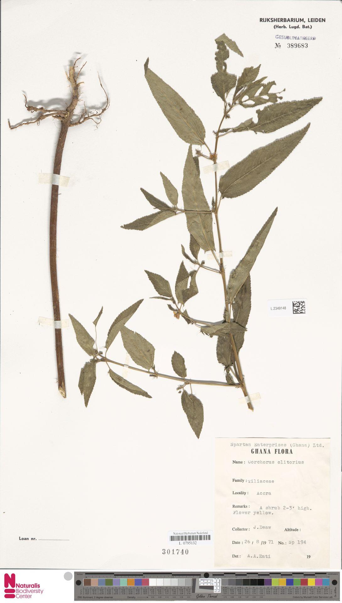 L.2349148 | Corchorus olitorius L.