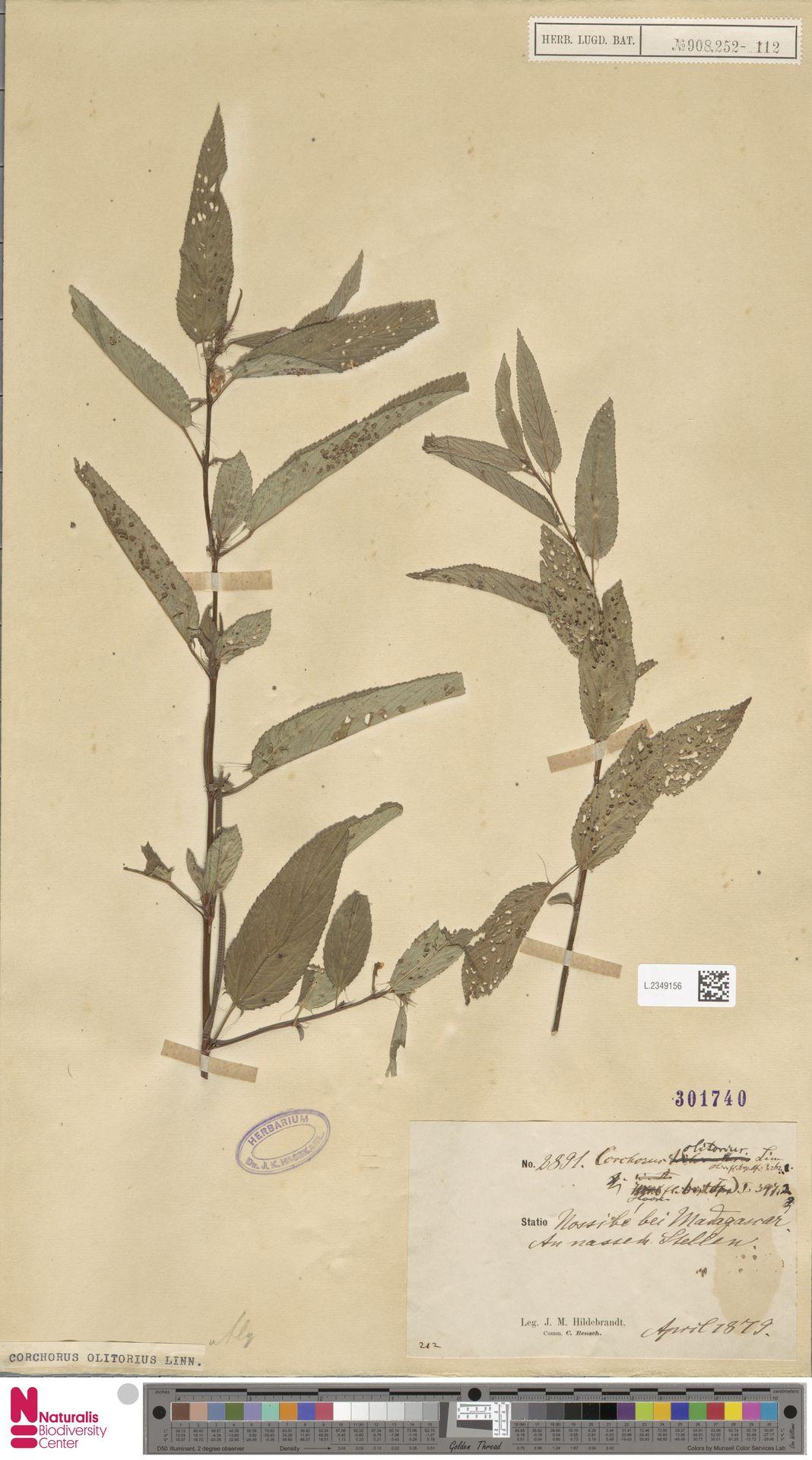 L.2349156 | Corchorus olitorius L.