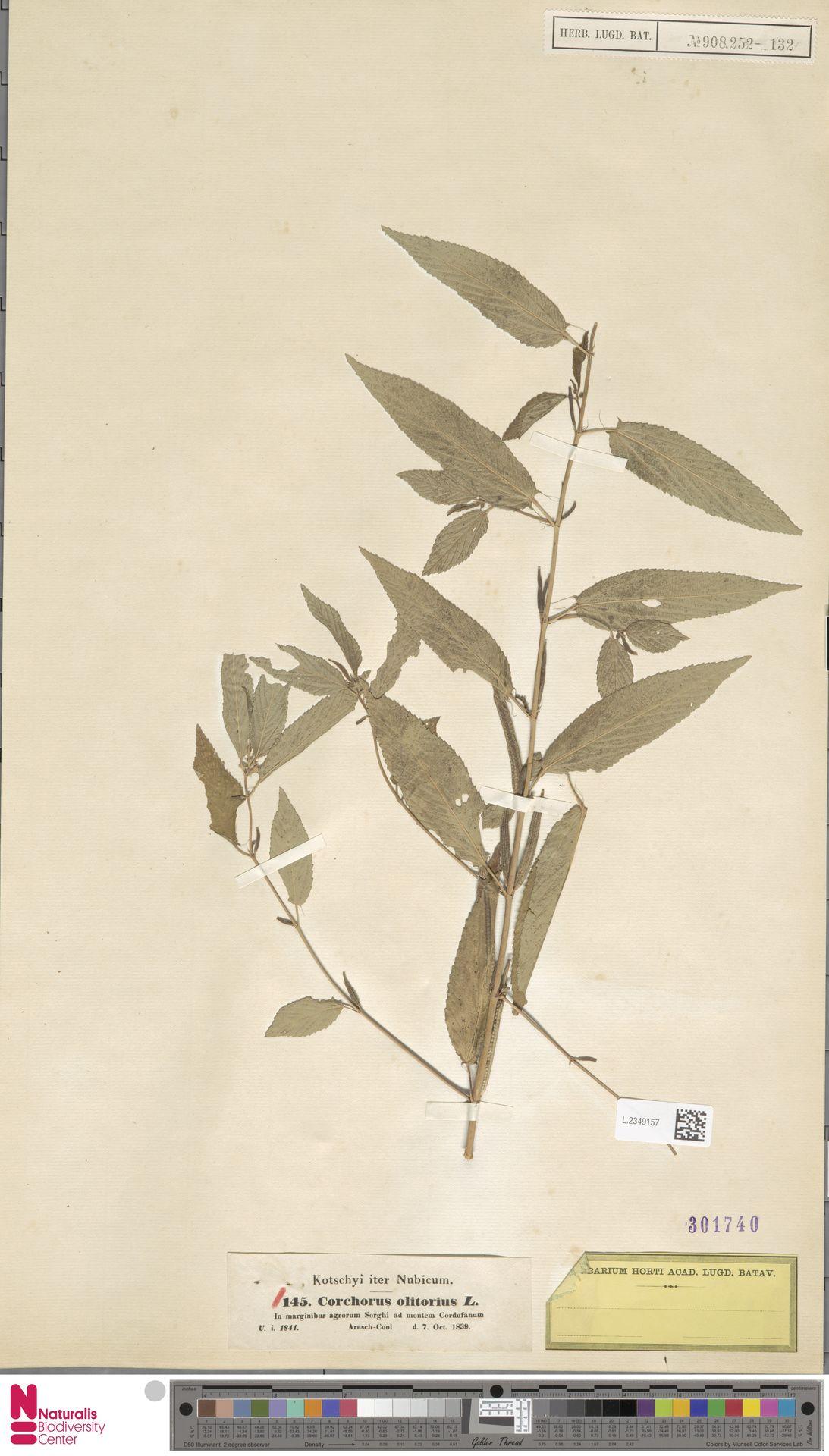 L.2349157   Corchorus olitorius L.